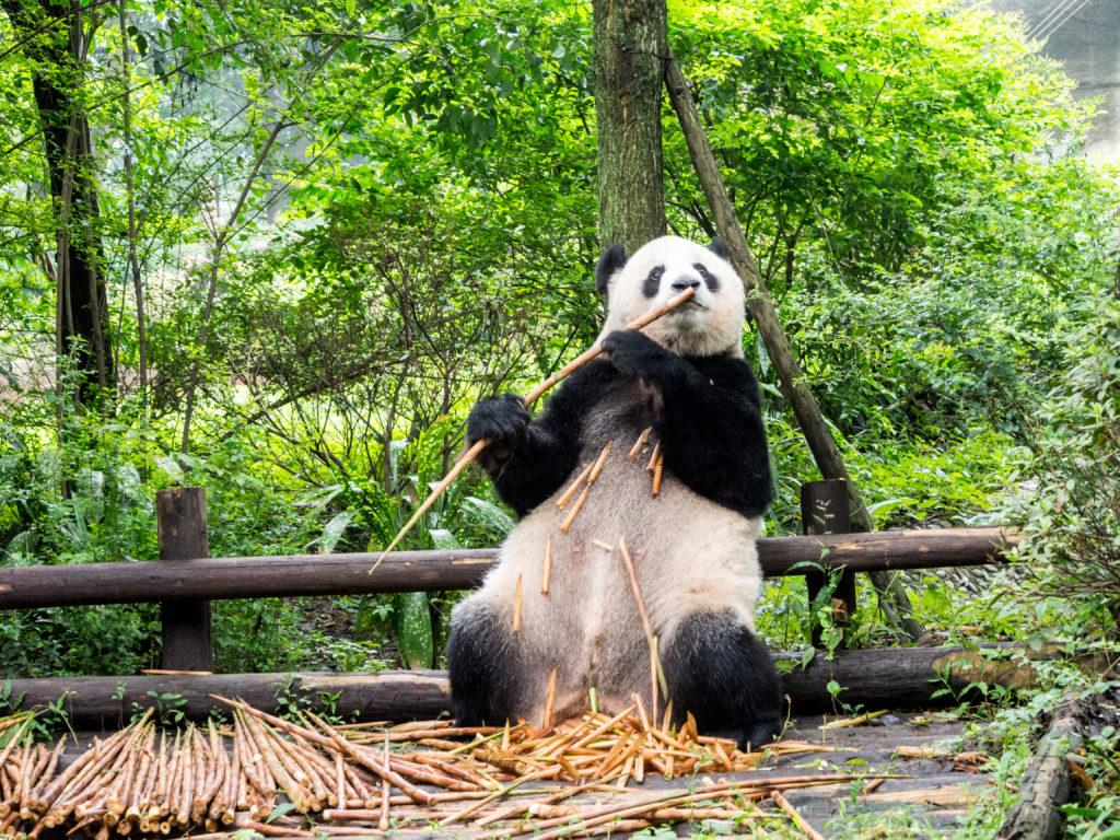 que faire aux environs de chengdu le centre de recherche sur le panda g ant. Black Bedroom Furniture Sets. Home Design Ideas